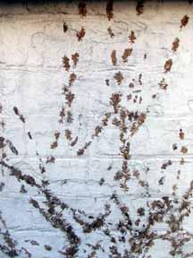 Ivy graffetti